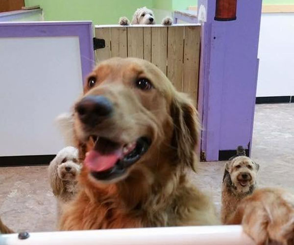 Golden Retriever Loves His Doggy Daycare So Much, He Ran