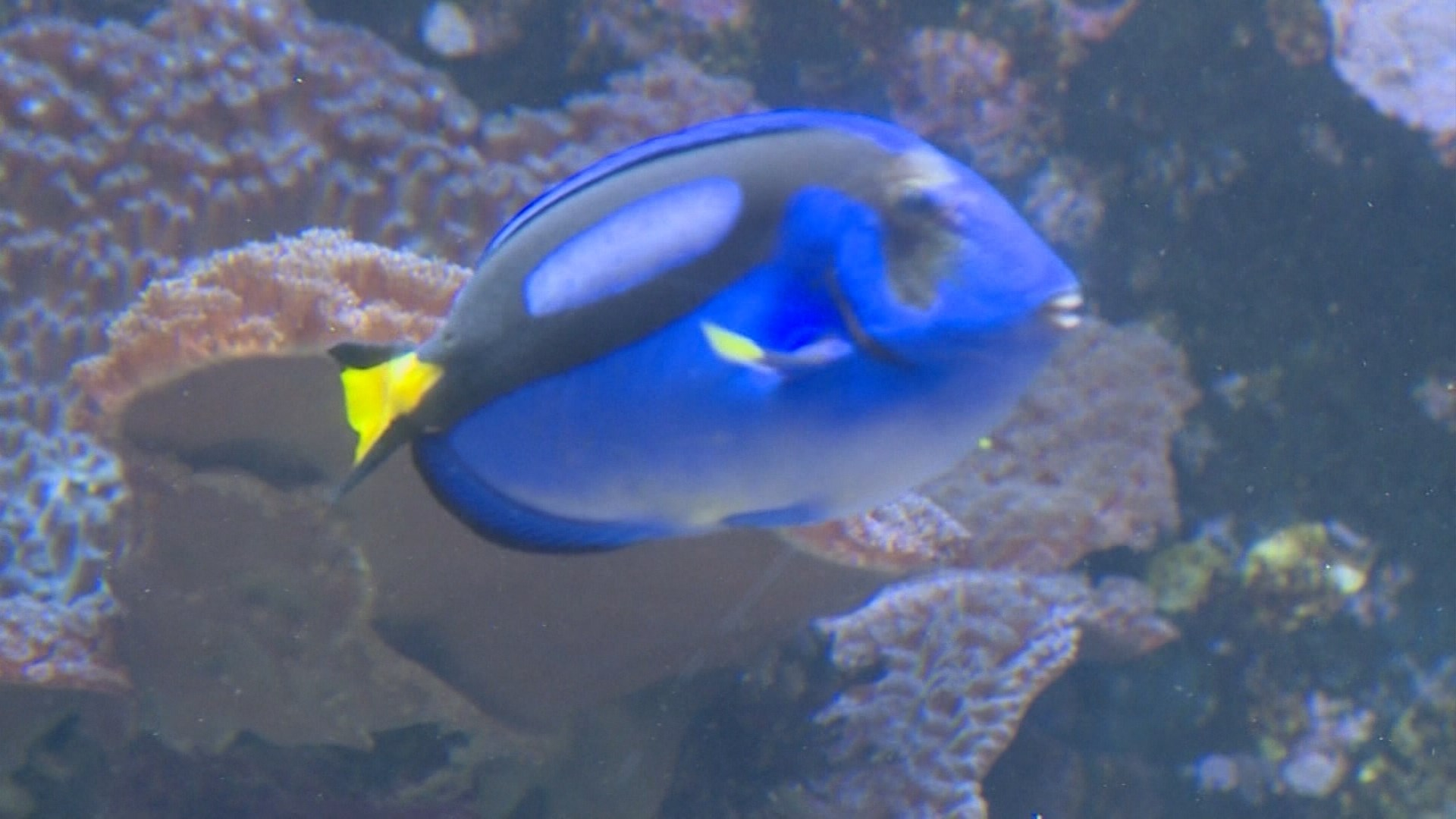 Concern 39 finding dory 39 will hurt blue tang fish for Picture of dory fish