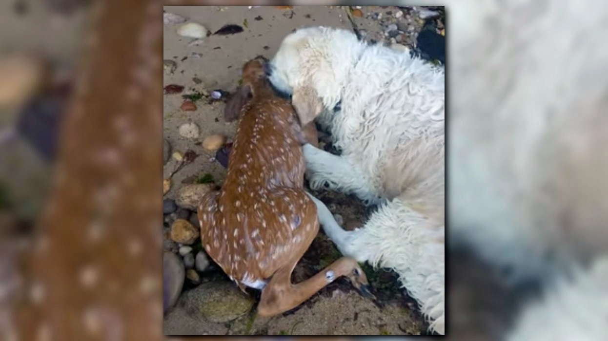 AMAZING VIDEO: Dog rescues drowning fawn
